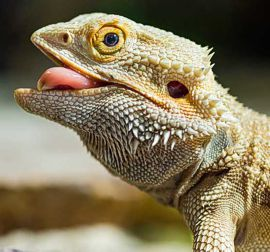 Bearded Dragon Steve