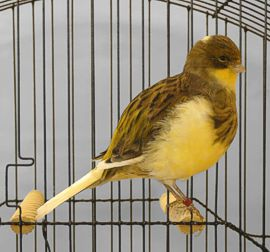 Yellow Border Canary